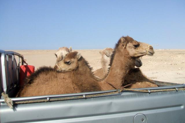 banjul challenge camels on the back of a pick up