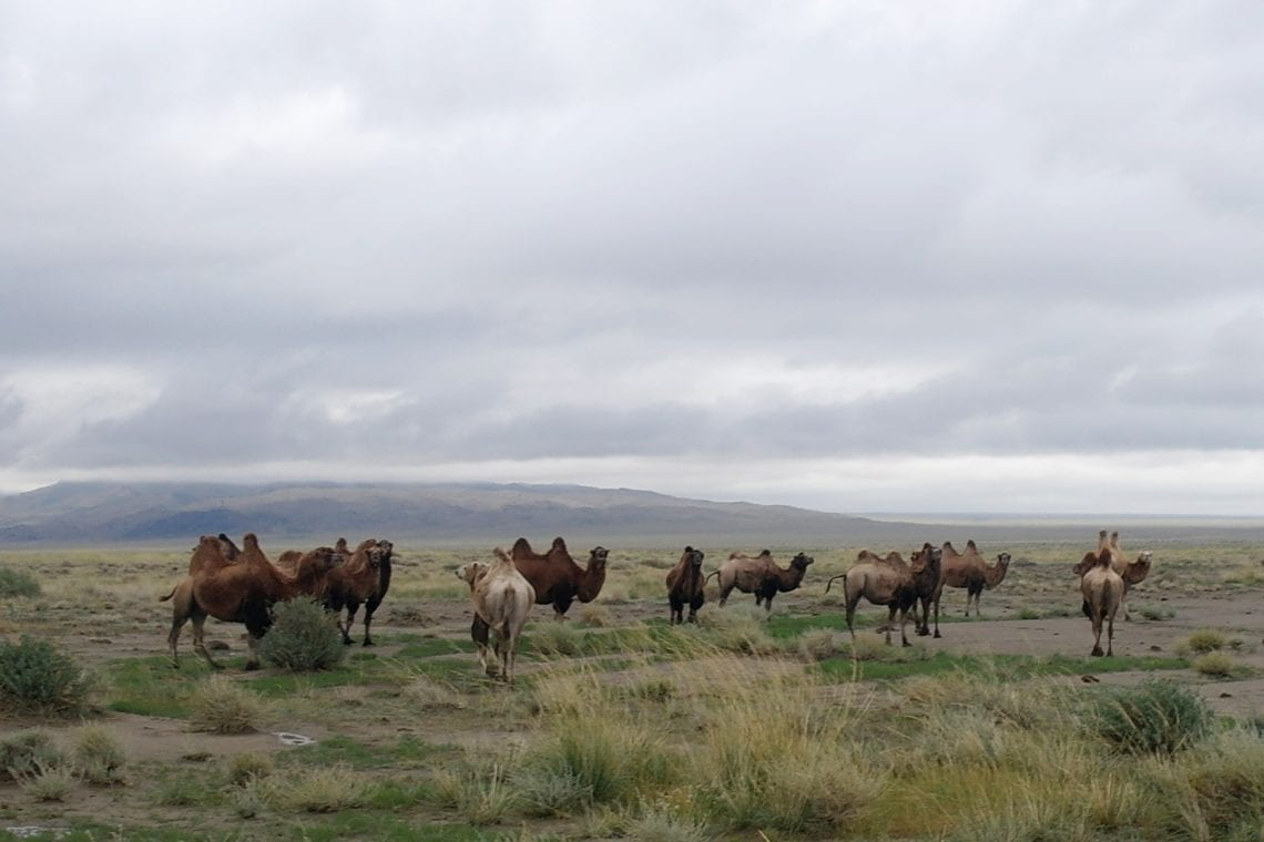 mongol rally camels grazing in mongolia