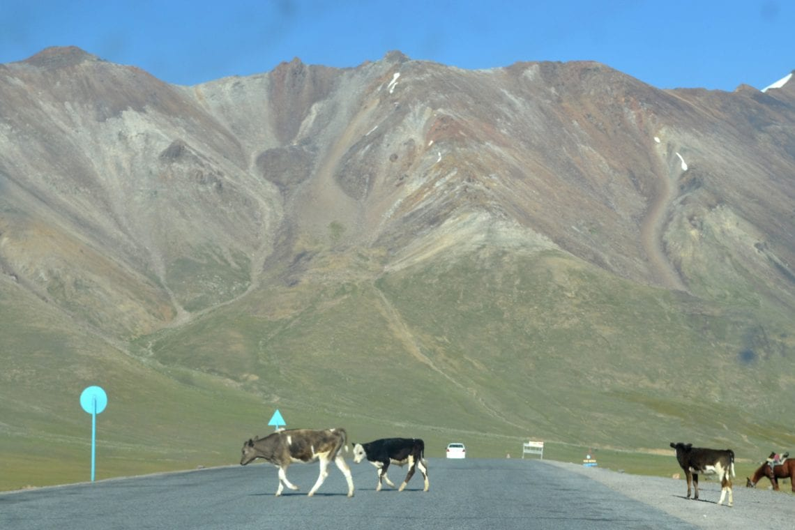 mongol rally cows getting in the way in kyrgyzstan
