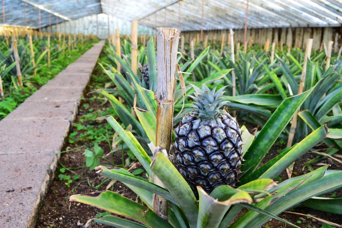 azores checking out the pineapple farm