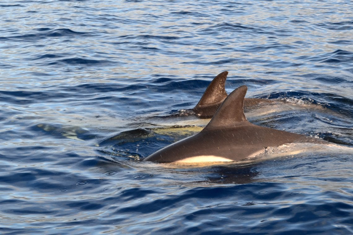 azores spotted some dolphins