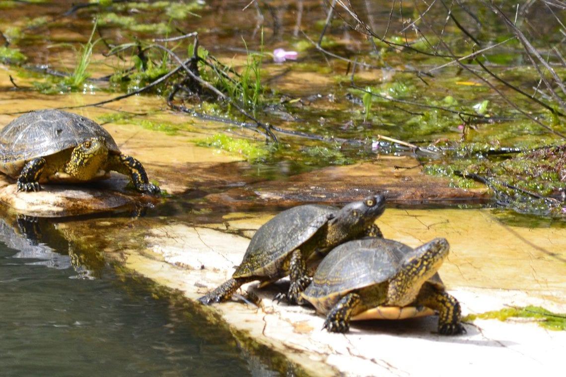 balkan backpack turtles 2