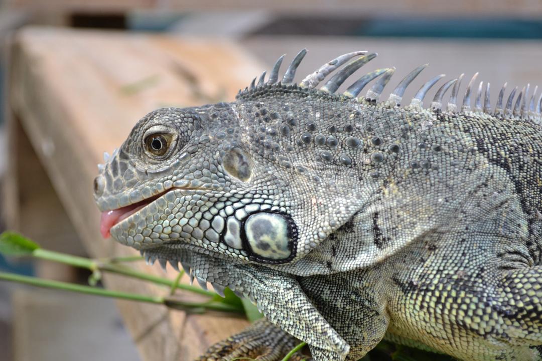 central america taster iguana