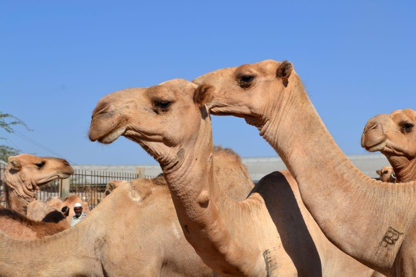 somaliland camels