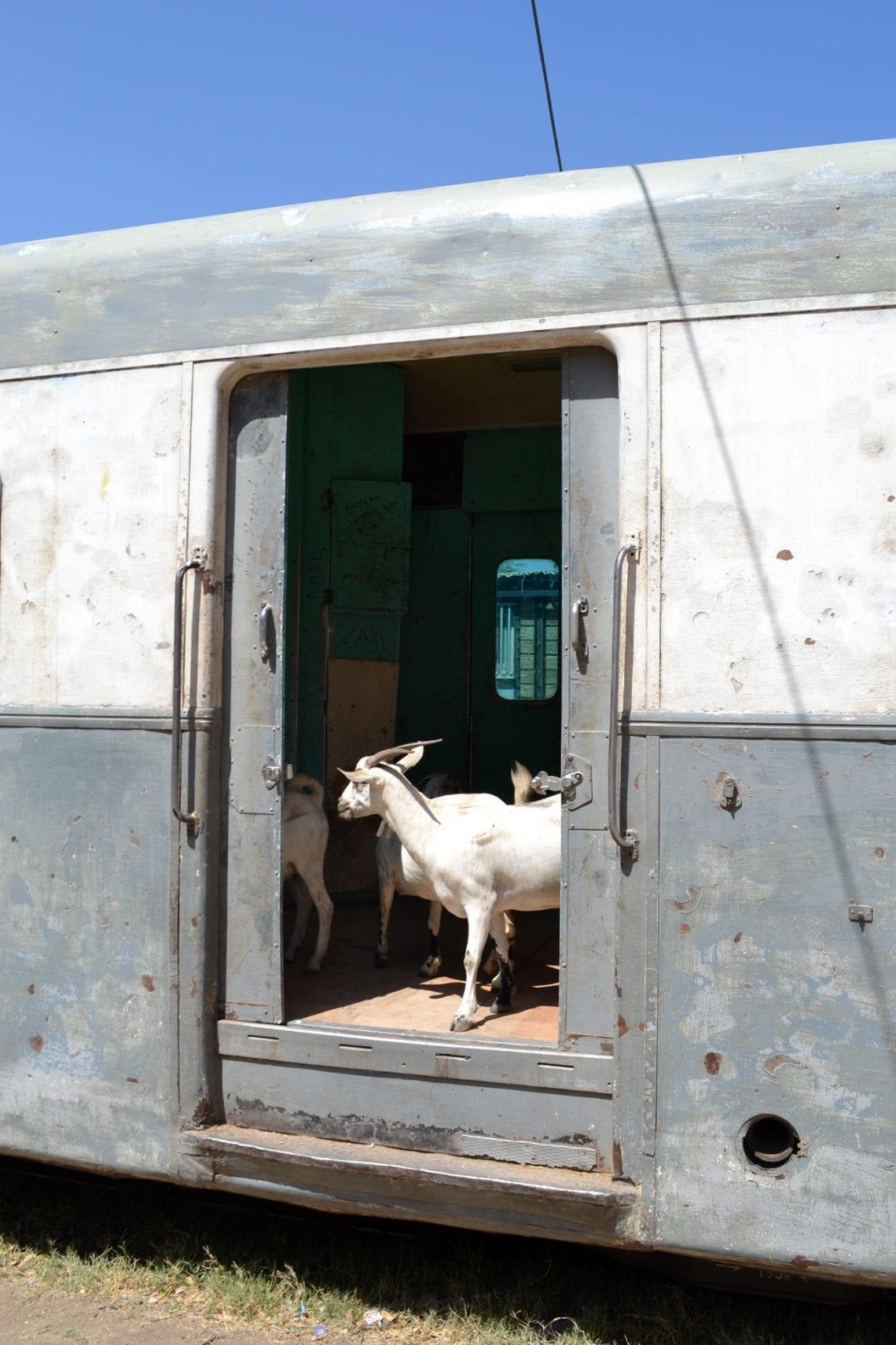 somaliland goats on train